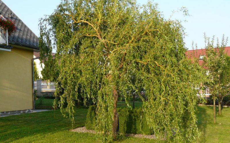 0kn1zi-Ива матсудана Эритрофлексуоза (Salix matsudana Erythroflexuosa)