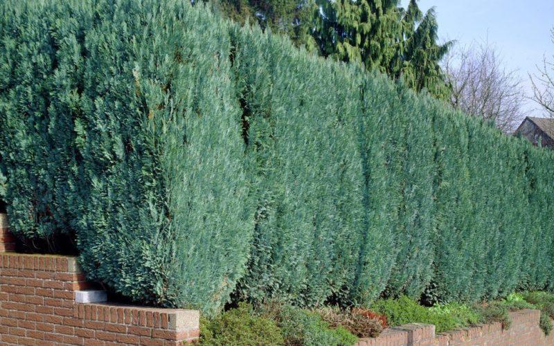 coniferenhaag-chamaecyparis-lawsoniana-columnaris-1
