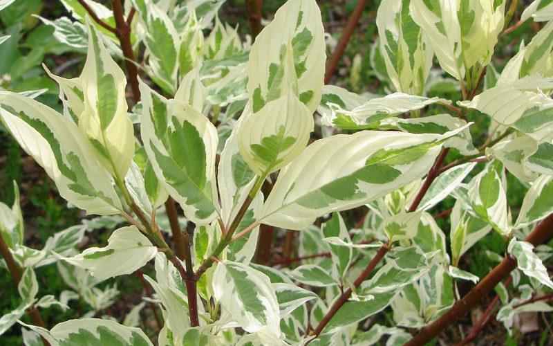 cornus-alba-elegantissima-leaf-21-800x800