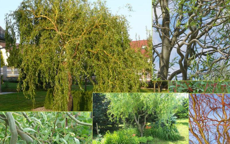 trees_salix_matsudana_erythroflexuosa