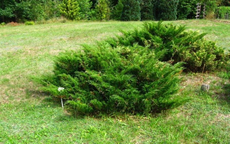 Podlaskie_-_Suprasl_-_Kopna_Gora_-_Arboretum_-_Juniperus_sabina_Variegata_-_plant